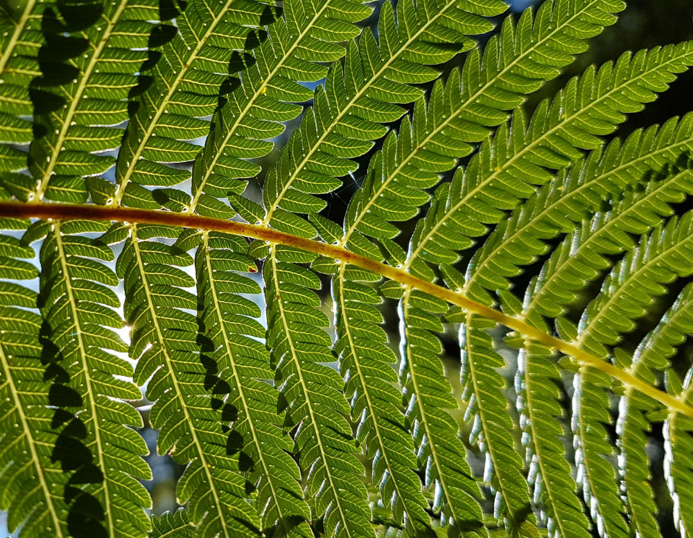A fern frond from the underside, with sunlight shining through and lighting the whole frond up