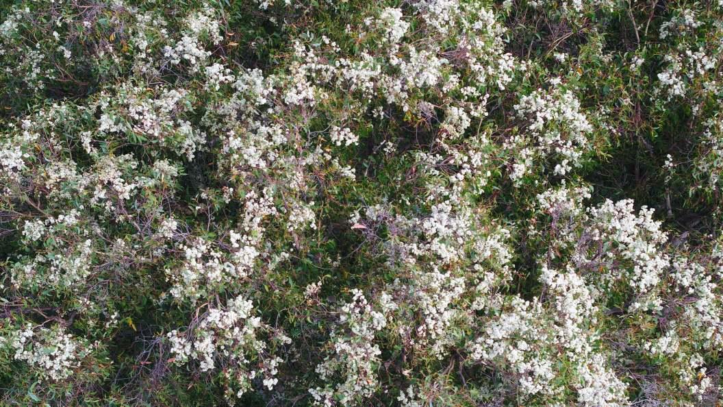Mountain Ash flower