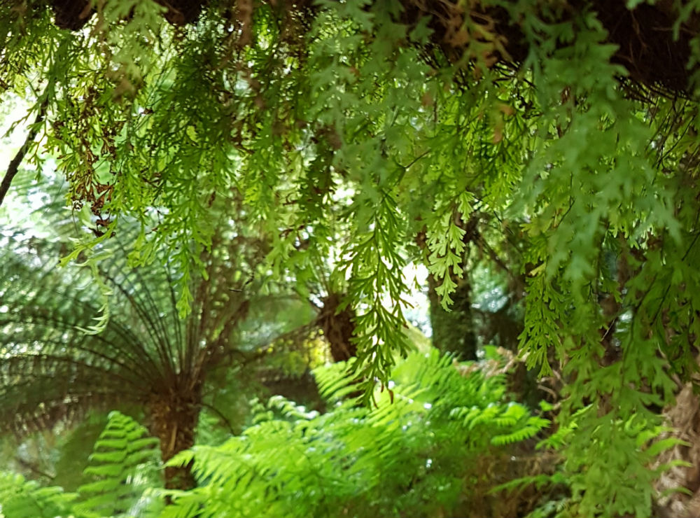 Moss hangs off a tree trunk in front of some tree ferns