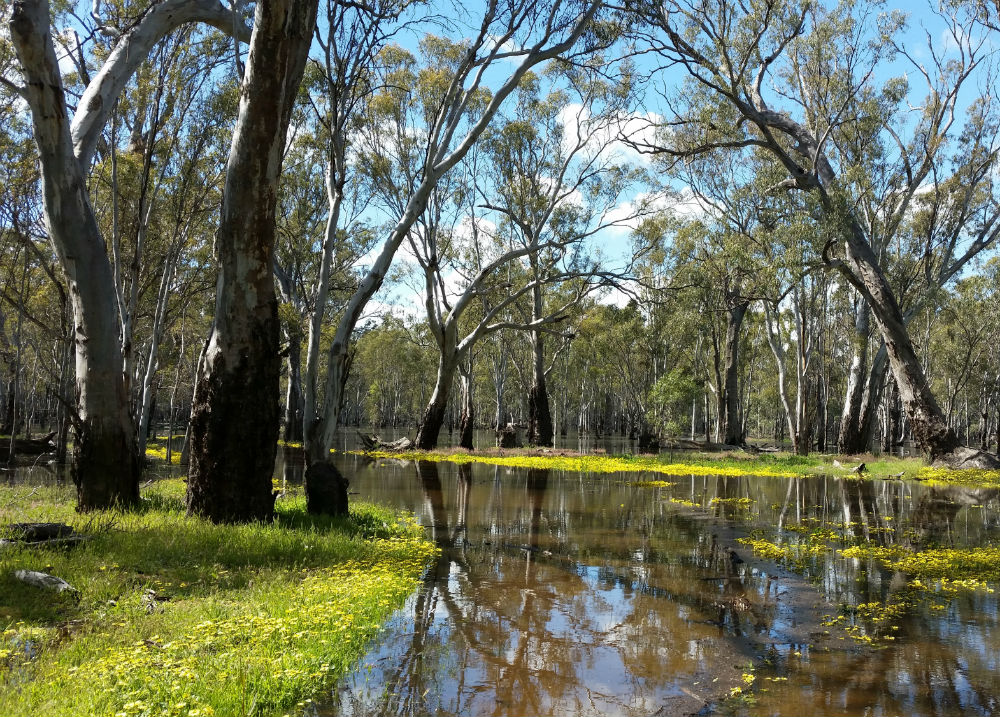 A flooded forest with Eucalypts above and yellow flowers in the water below