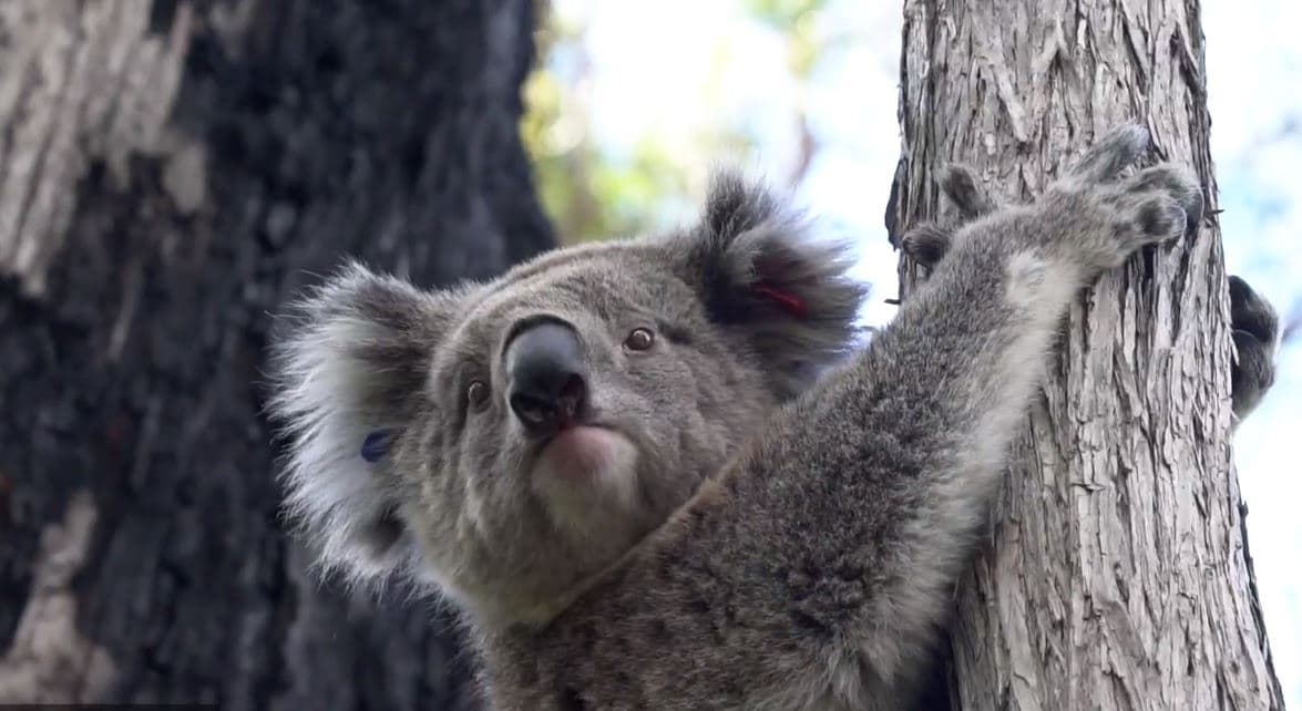 Koala clings to tree