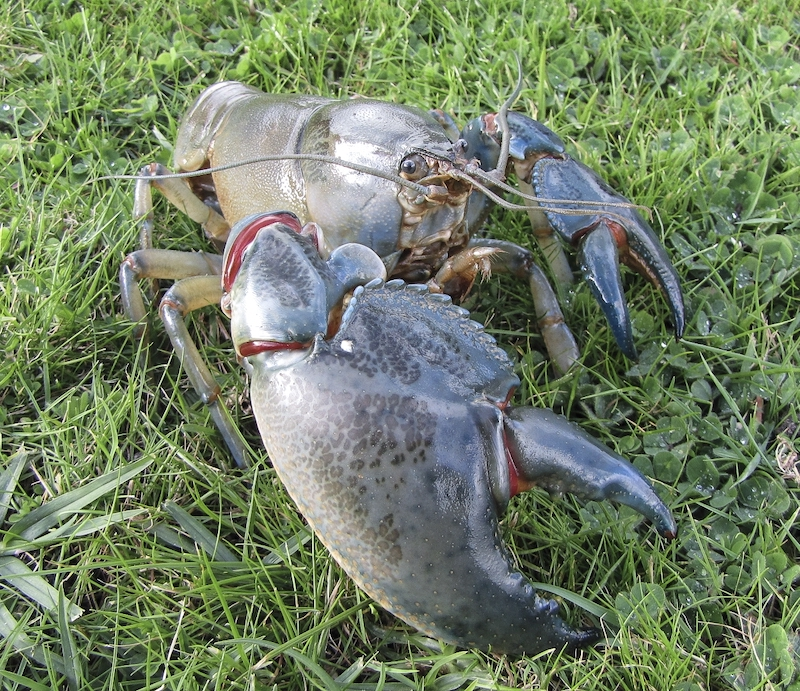 A new species of freshwater crayfish, known as the Swamp Yabby