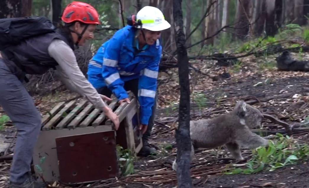 Koala is released into bush